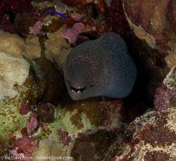 BD-090405-St-Johns-4052508-Gymnothorax-javanicus-(Bleeker.-1859)-[Giant-moray].jpg